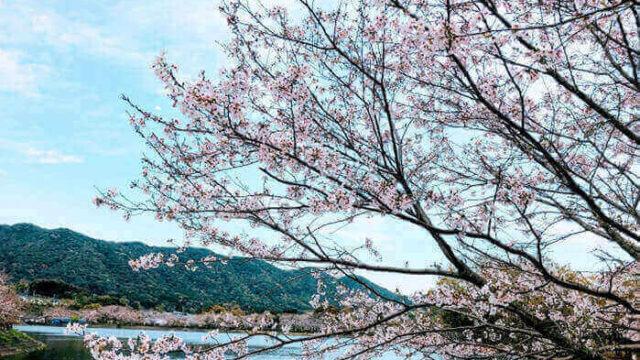 川と桜の画像