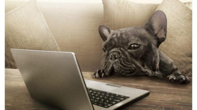 パソコンを除いているフレンチブルドックの画像